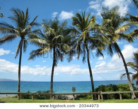 Tall palm trees on beach in Maui