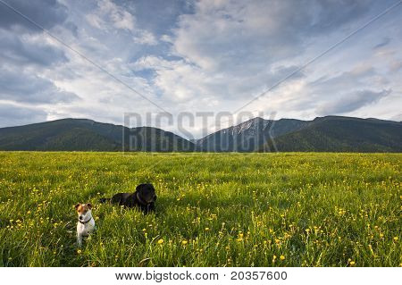 Two Dogs On Meadow