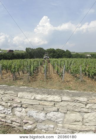 Winemaker Working In Vineyard In France