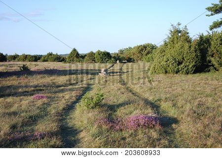 Trail in a beautiful landscape with junipers and blossom heather flowers at the swedish island Oland