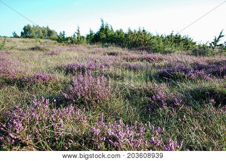 Beautiful sunlit heather flowers in a great grassland at the swedish island Oland