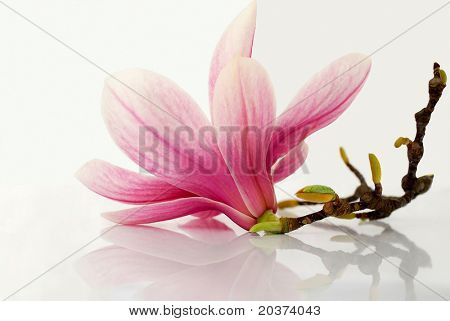 magnolia flower reflected on white background