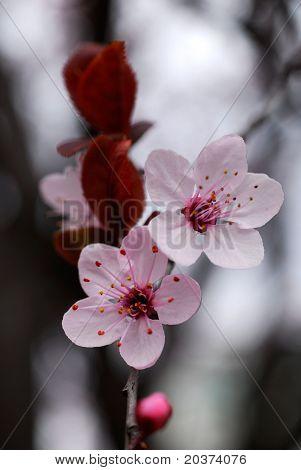 cherry flowers macro