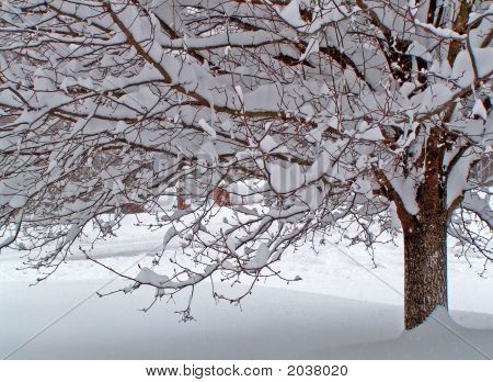 Partial View Of Pear Tree Covered In Heavy Snow.