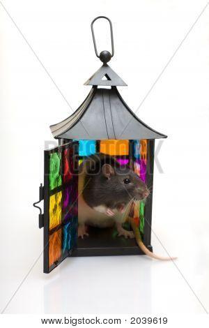 Rat In A Lantern