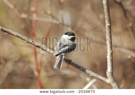 Blackcapped los pájaros Chickadee