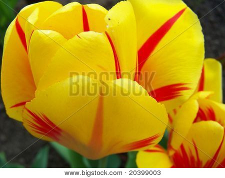 Spring flowers – tulips.