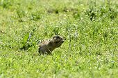 Cute European Ground Squirrel On Field (spermophilus Citellus)cute European Ground Squirrel On Field poster