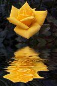 stock photo of yellow rose  - Yellow rose - JPG