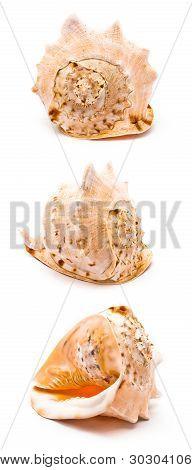 Isolated Big Seashell