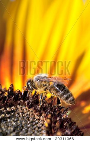 Bee working on sunflower