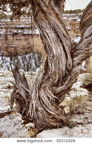 Twisted Juniper at the Grand Canyon
