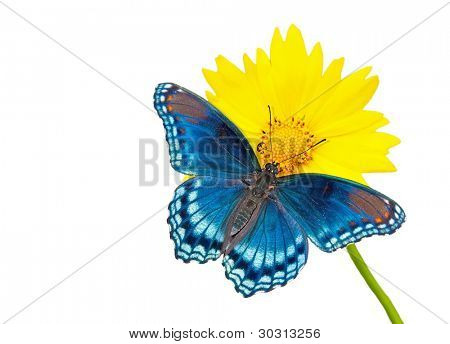 Red-spotted purple Admiral butterfly on yellow Coreopsis flower, isolated on white with copy space