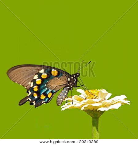 Green Swallowtail butterfly feeding on a pale yellow Zinnia on green background