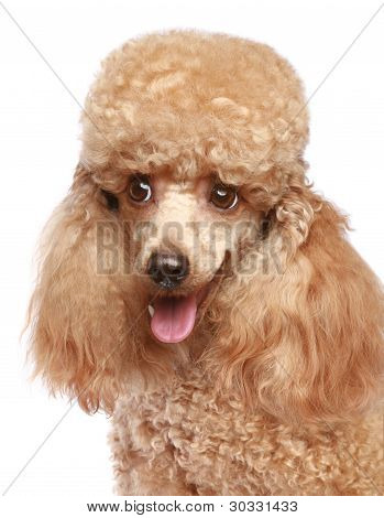 Miniature Poodle Puppy Portrait