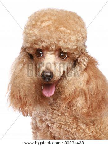 Miniature Poodle Puppy Portrait