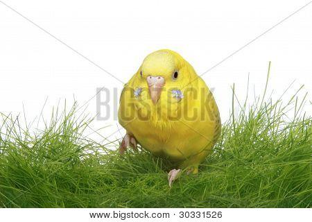 Yellow Budgerigar In Green Grass