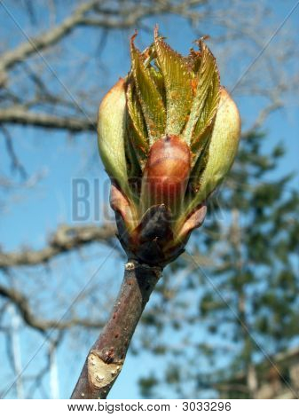 Horse Chestnut Tree Bud