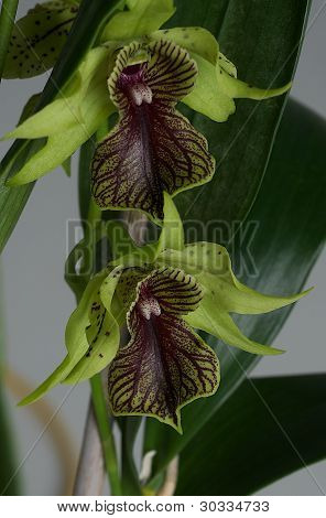 Two Orchids Macro