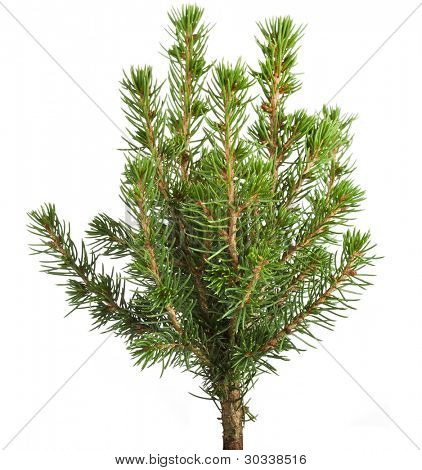 Young decorative spruce Conica