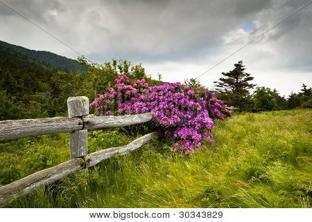 Roan Mountain State Park Carvers Gap Rhododendron Flower Blooms Nature