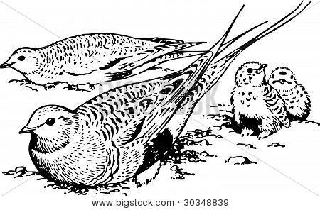Bird syrrhaptes paradoxus