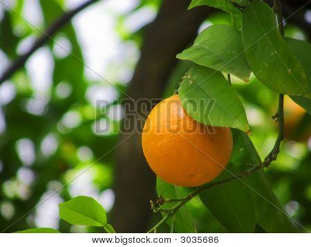Orange And Leaf On Branch