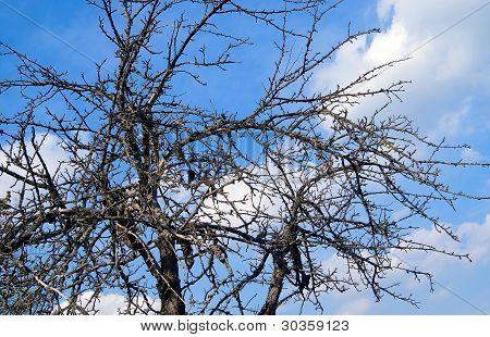 Leafless Dry Tree