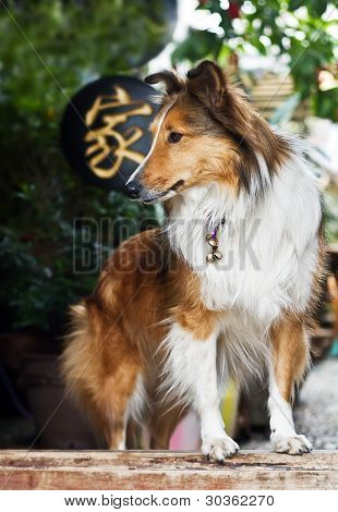Cute .rough Collie Standing At The Yard Door Waiting