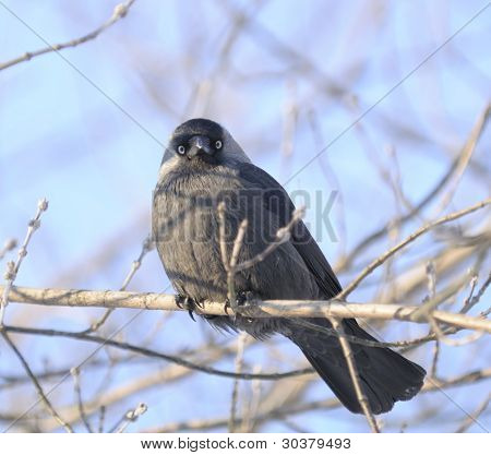 Jackdaw (Coloeus Monedula) Sitting On Tree Branch