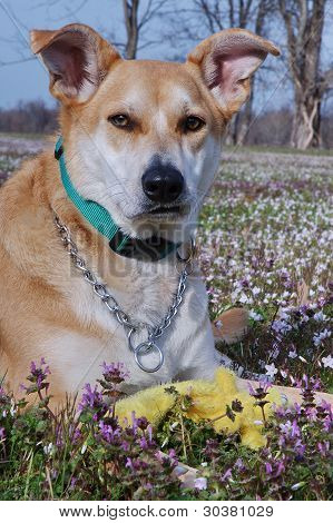 Very Closeup of Carolina Dog