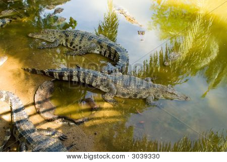 Alligators In The Water