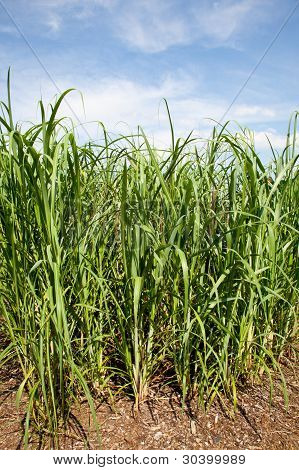 Sugar Cane Plants Being Grown On Farm Biofuel