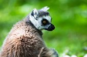 Ring-tailed Lemur, Originally From Madagascar, Is Recognisable By Its Black And White-ringed Tail. I poster