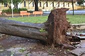 Tree That Fell After A Storm In The Urban Area. Old Tree Trunk Fallen In The City poster