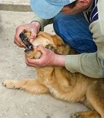 Inspection Of A Teeth Of A Dog By The Veterinary poster