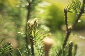 Closeup Photo Of Green Needle Pine Tree On The Right Side Of Picture. Blurred Pine Needles In Backgr poster