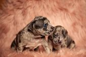 Scared American Bully puppies sitting on pink furry background, one of the looking to the side frigh poster