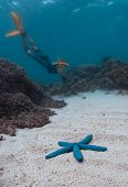 Woman snorkeling and skin diving in the tropical sea and swims closer to the blue starfish lying on  poster