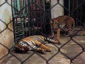 Couple Of Tigers In Captivity poster