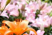 image of asiatic lily  - Close up of deep orange asiatic lily bloom in front of pink lily