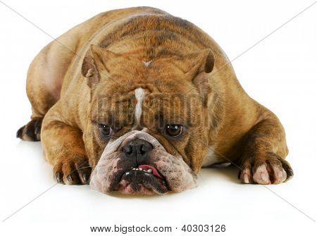 grumpy dog - english bulldog with grouchy expression laying down on white background