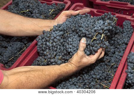 Hands Picking Grapes From A Red Box