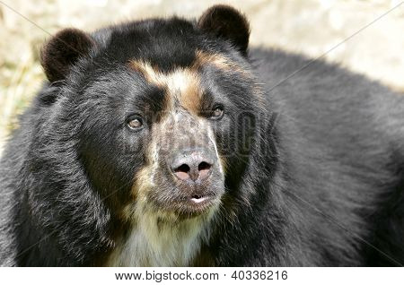 Portrait of Andean bear