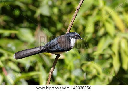 Dark-backed Sibia Heterophasia melanoleuca