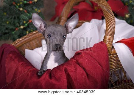 Chihuahua Puppy In Christmas Basket