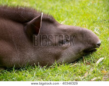 Portrait of sleeping tapir in field grass