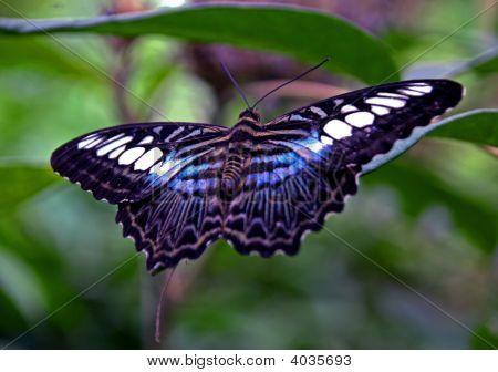 Blue Clipper Butterfly