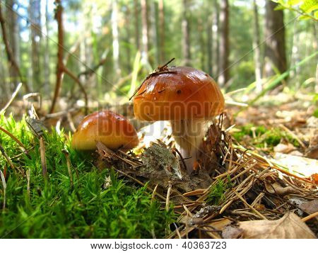 beautiful young fly agaric in the forest