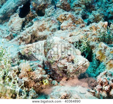 Highly Venemous Scorpion Fish Hides On The Seabed